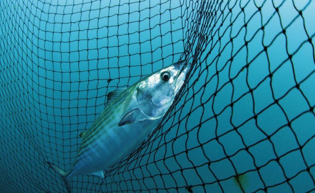 Boğaz'ın Canavar Balığı Lüfer