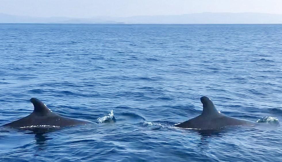 Yalancı katil balinalar ilk defa Kuzey Ege'de görüldü!