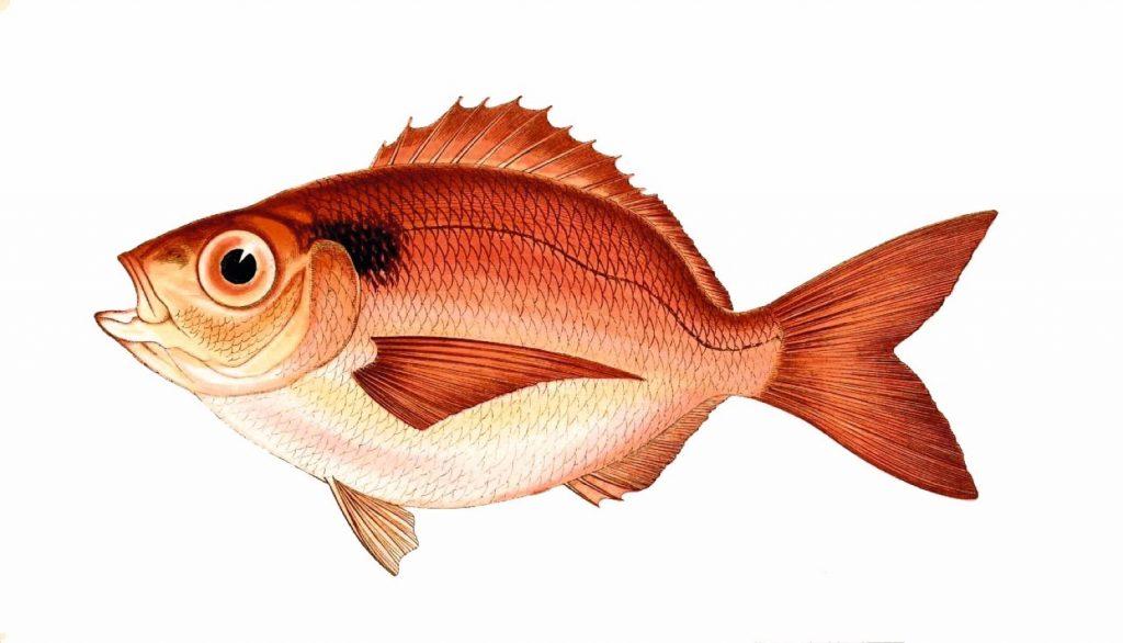 Gırmızı balık hakkında merak edilenler