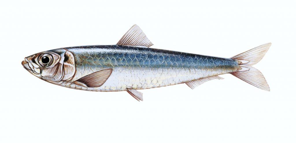 Sardalya balığı hakkında merak edilenler