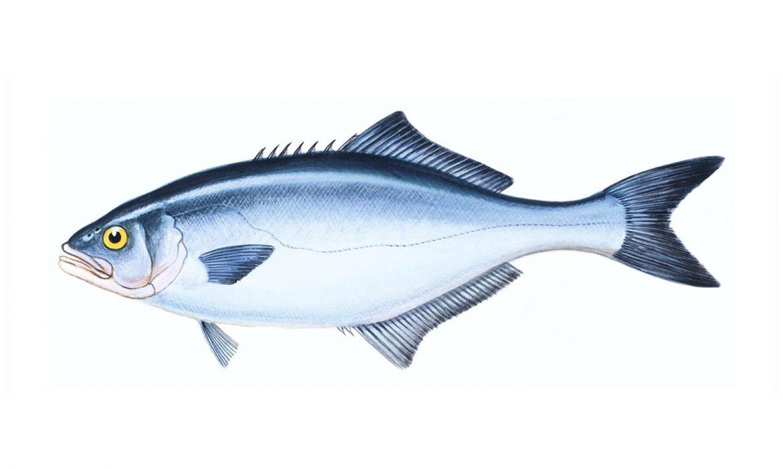 Akya balığı hakkında merak edilenler