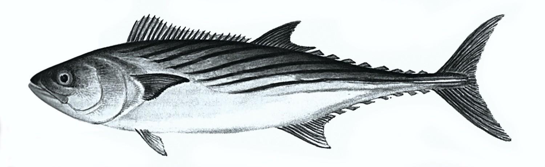 Palamut balığı hakkında merak edilenler